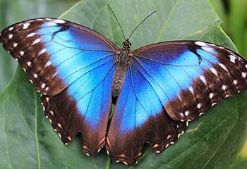 De Morpho vlinder. Beeld: Botanische Tuinen Utrecht.